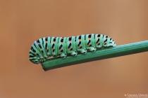 Bruco di Macaone (Papilio machaon)