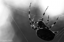 Working in a mysterious way  - Araneus diadematus
