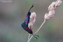 Zygaenidae in accoppiamento