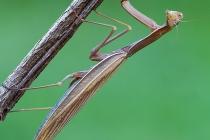 Mantide religiosa - Mantis religiosa