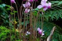 Ciclamino di bosco, (Cyclamen sp.)