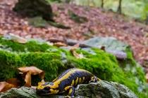 Salamandra pezzata - (Salamandra salamandra)