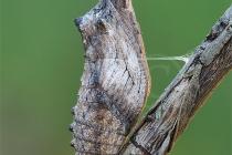 Crisalide di Papilio machaon