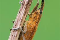 fam. Curculionidae
