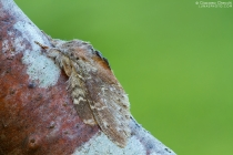 Stauropus fagi  ( Notodontidae )