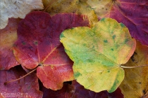foglie d' Autunno