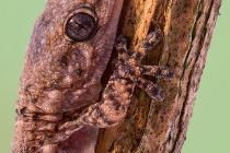 Geco comune -Tarentola mauritanica