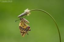 Macaone - Papilio machaon