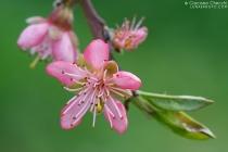 Pesco - Prunus persica