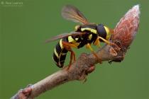 Xanthogramma festivum, (Syrphidae)